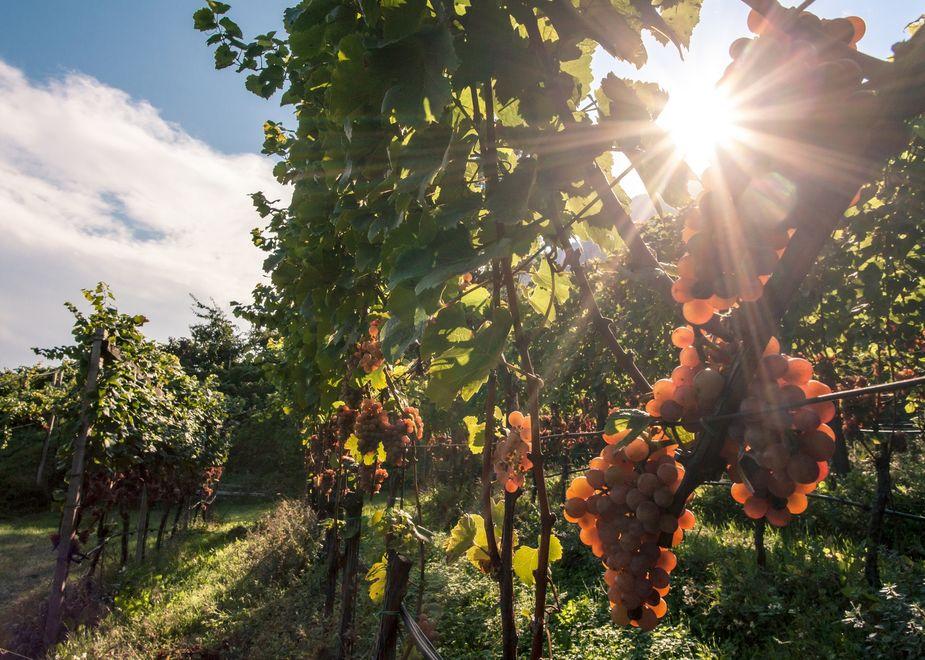 2019, ottima annata per i vini Nals Margreid tra eleganza e qualità