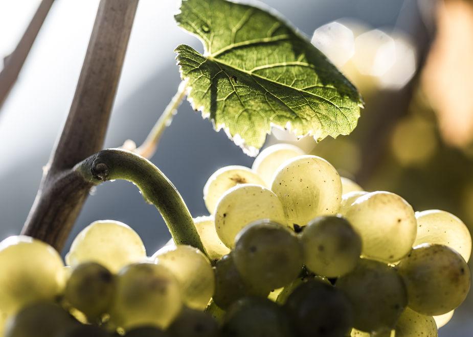 Un grande vino internazionale: il Pinot Bianco Nals Margreid